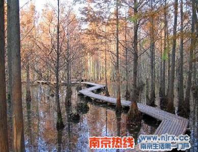 罕见的水中杉树林,阴翳蔽日,空气清新,湿润,贴水