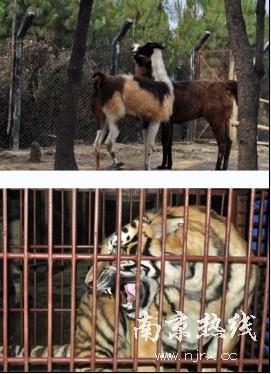 深圳动物园驼羊移民 孟加拉虎换亲