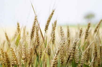 全国已经收获小麦面积2.18亿亩,怎么才能提高小麦产量
